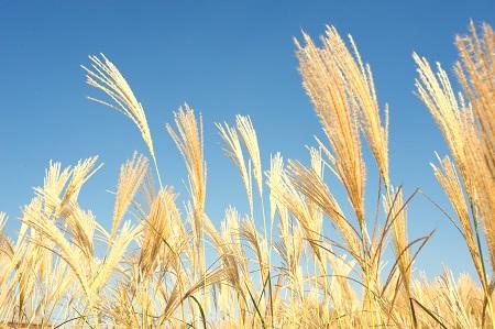 champ-de-cereales